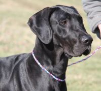 Yager PA Great dane rescue (3)